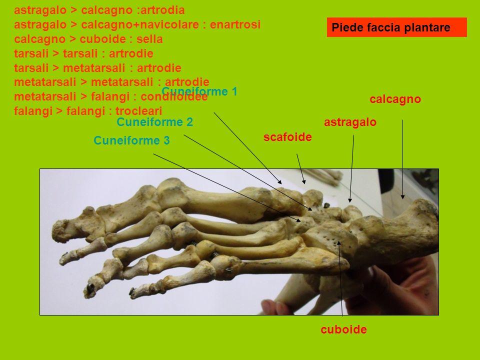 astragalo > calcagno :artrodia astragalo > calcagno+navicolare : enartrosi calcagno > cuboide : sella tarsali > tarsali : artrodie tarsali > metatarsali : artrodie metatarsali > metatarsali : artrodie metatarsali > falangi : condiloidee falangi > falangi : trocleari