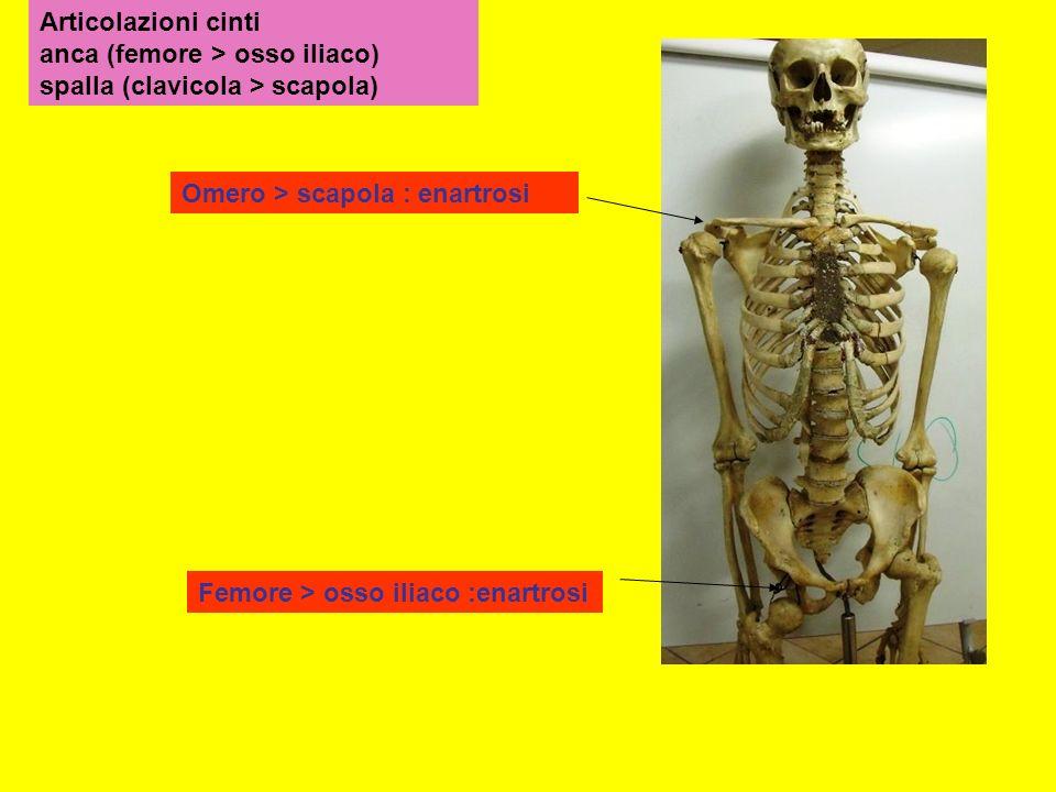 Articolazioni cinti anca (femore > osso iliaco) spalla (clavicola > scapola)