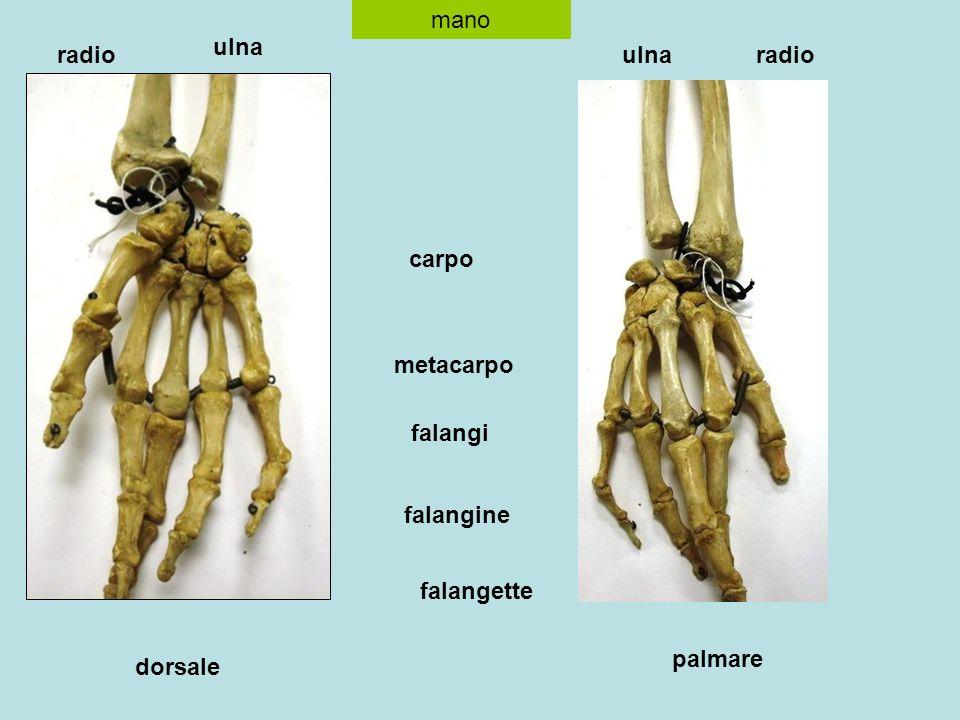 mano ulna radio ulna radio carpo metacarpo falangi falangine falangette palmare dorsale