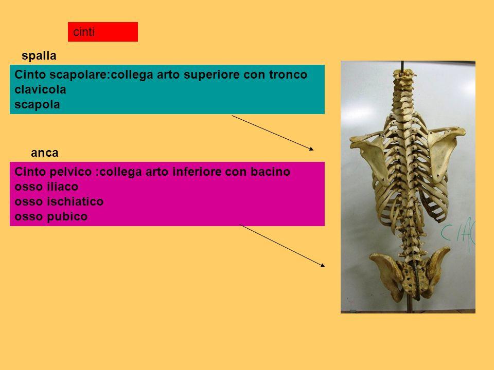 cinti spalla. Cinto scapolare:collega arto superiore con tronco clavicola scapola. anca.