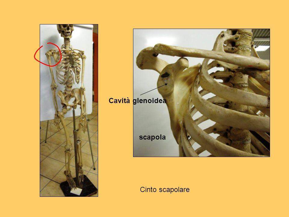 Cavità glenoidea scapola Cinto scapolare
