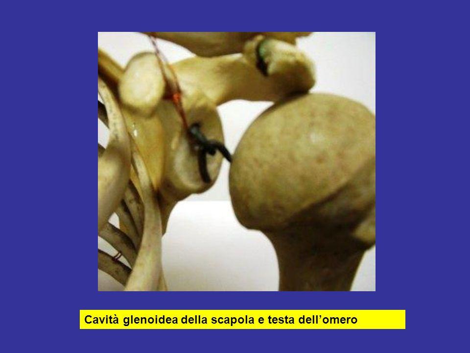 Cavità glenoidea della scapola e testa dell'omero
