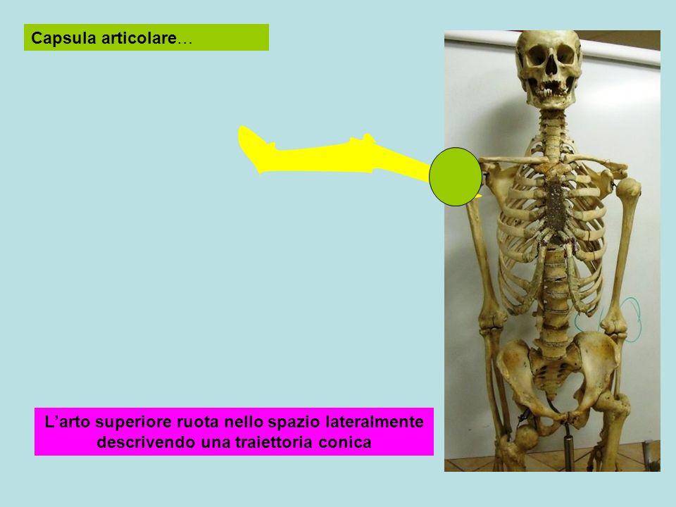 Capsula articolare… L'arto superiore ruota nello spazio lateralmente descrivendo una traiettoria conica.