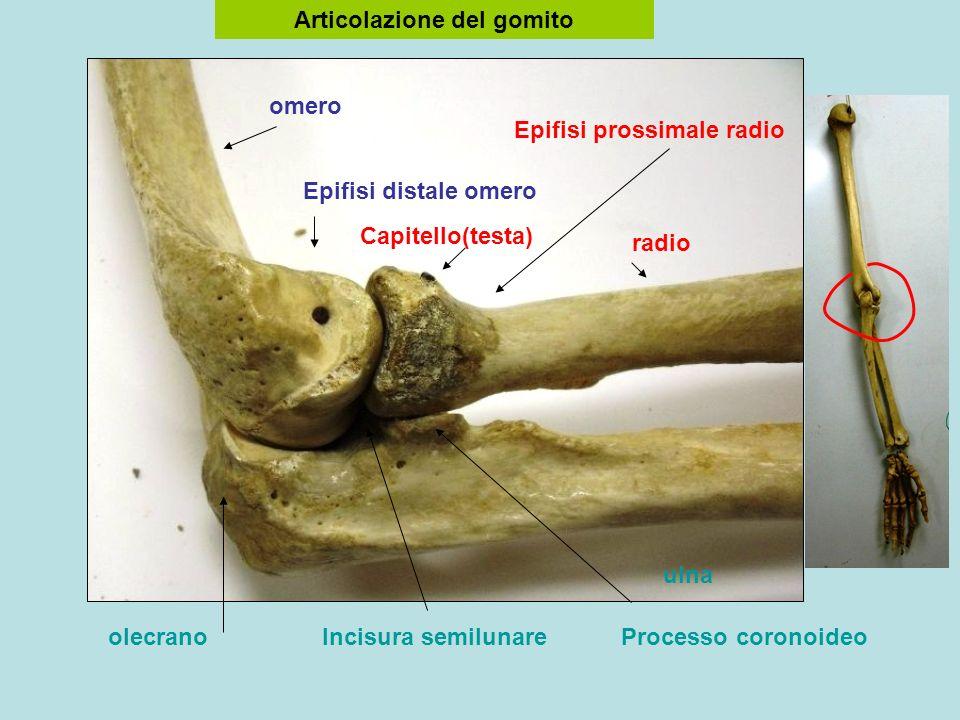 Articolazione del gomito Epifisi prossimale radio