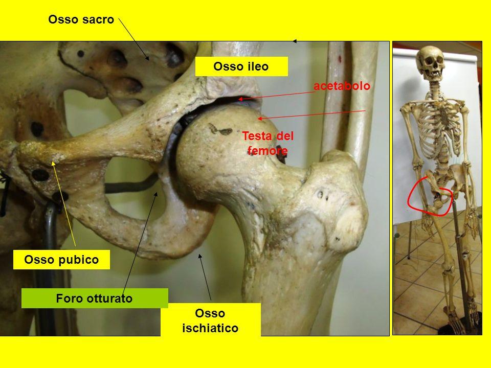 Osso sacro Osso ileo acetabolo Testa del femore Osso pubico Foro otturato Osso ischiatico