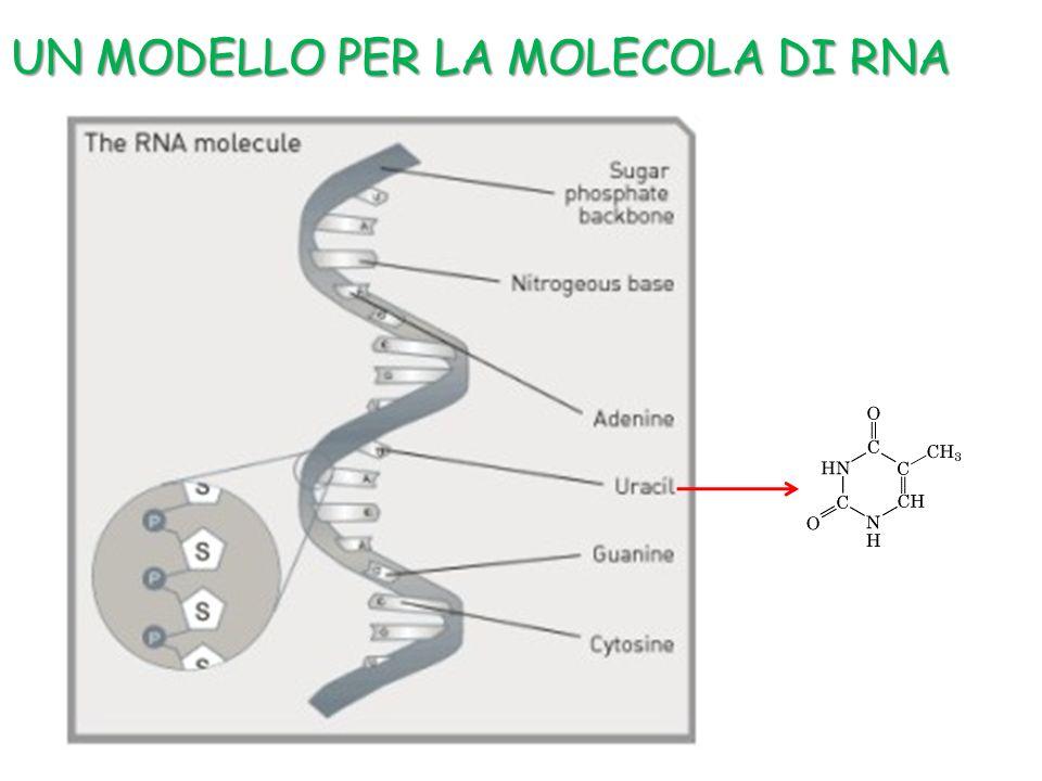 UN MODELLO PER LA MOLECOLA DI RNA