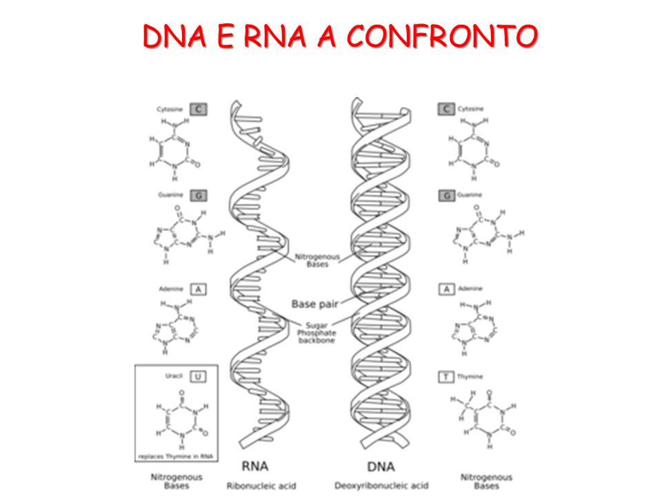 DNA E RNA A CONFRONTO