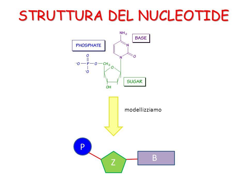 STRUTTURA DEL NUCLEOTIDE