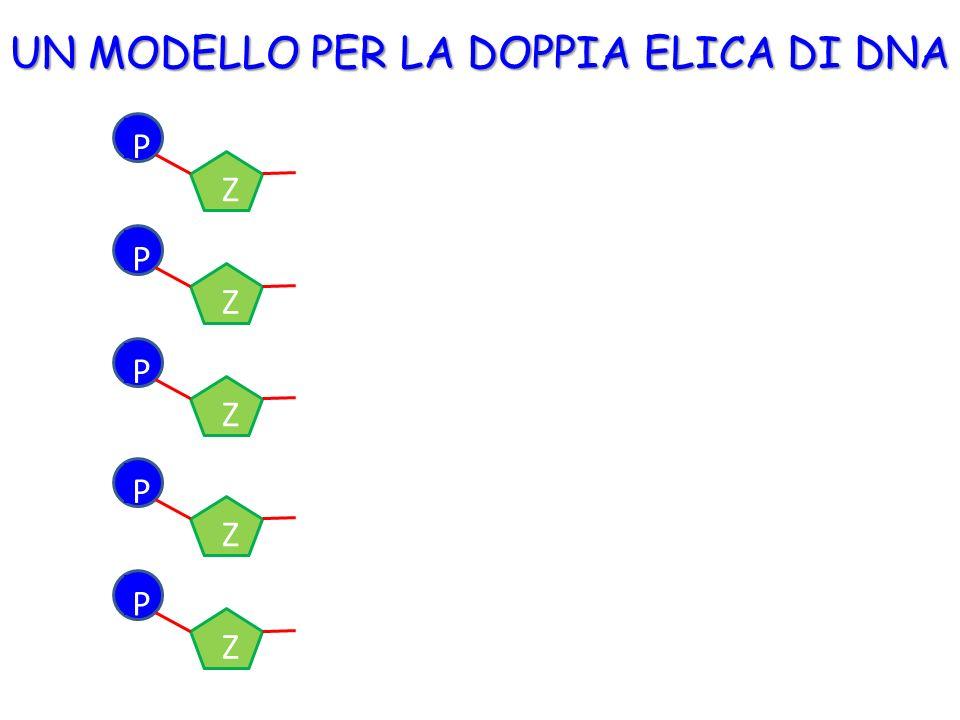UN MODELLO PER LA DOPPIA ELICA DI DNA