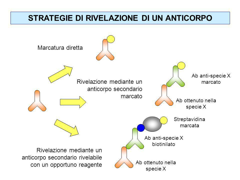 STRATEGIE DI RIVELAZIONE DI UN ANTICORPO