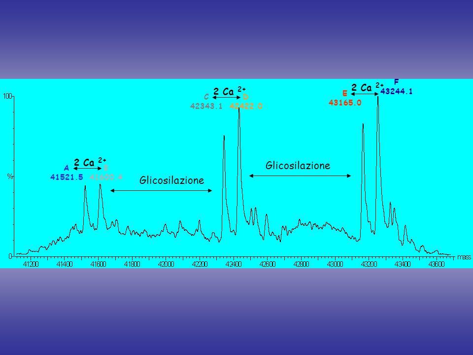 Glicosilazione 2 Ca 2+ C 42343.1 D 42422.0 E 43165.0 F 43244.1 A