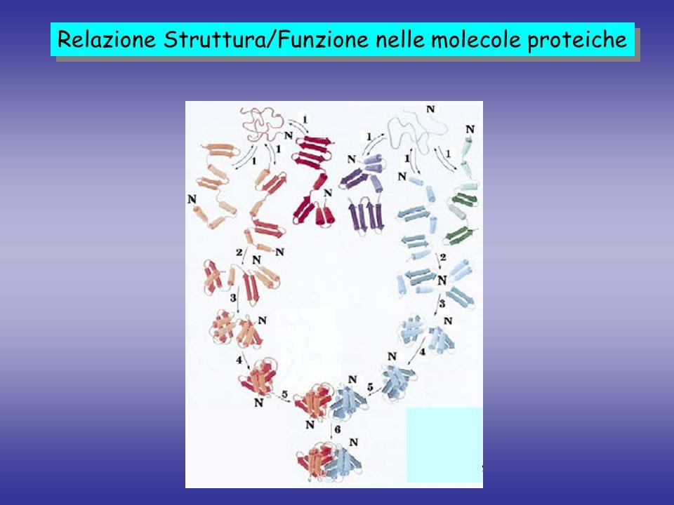Relazione Struttura/Funzione nelle molecole proteiche