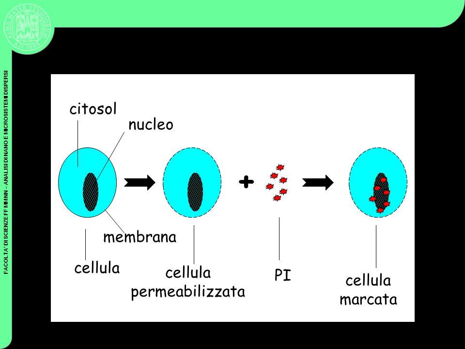 cellula permeabilizzata