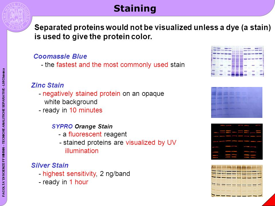 Staining Separated proteins would not be visualized unless a dye (a stain) is used to give the protein color.