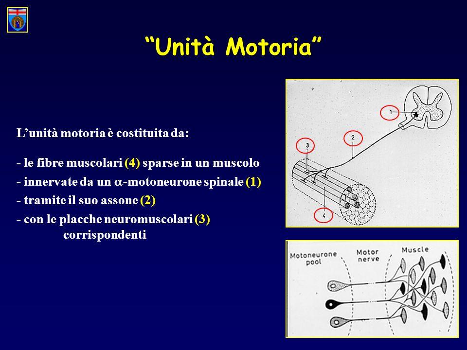 Unità Motoria L'unità motoria è costituita da: