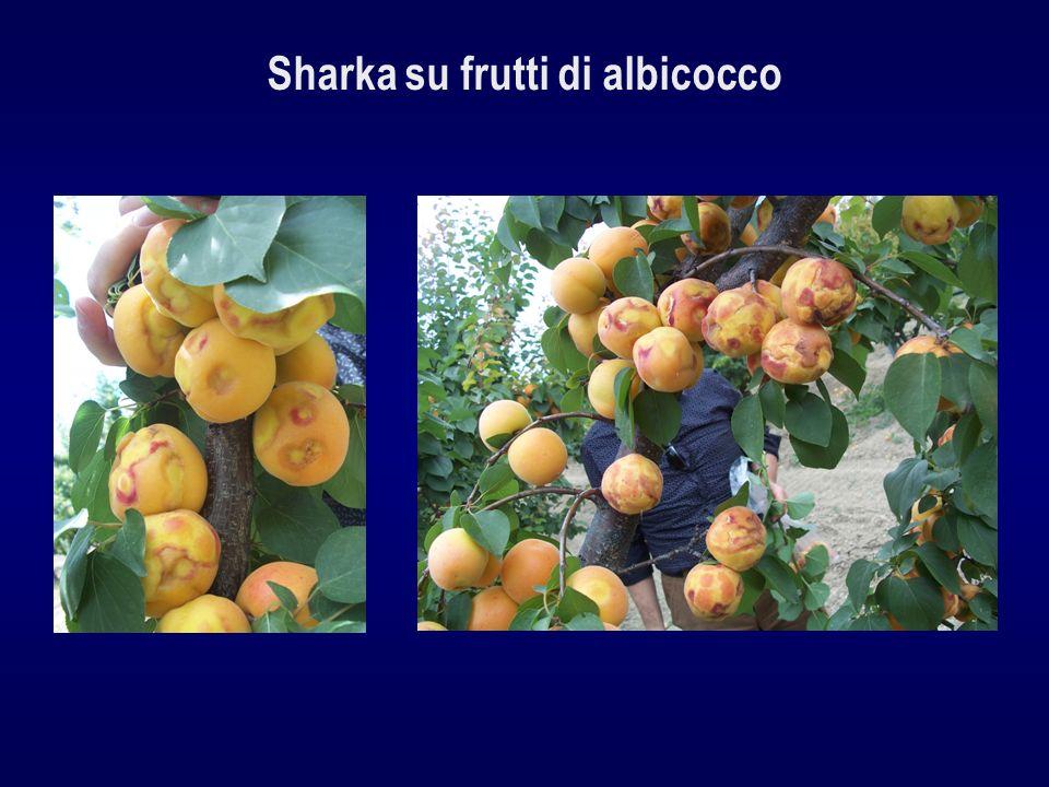 Sharka su frutti di albicocco