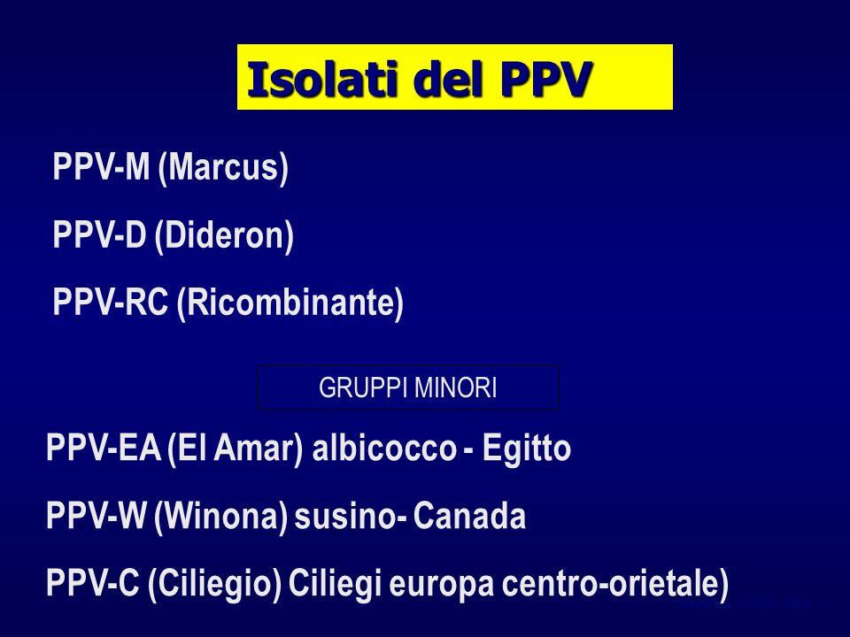 Isolati del PPV PPV-M (Marcus) PPV-D (Dideron) PPV-RC (Ricombinante)