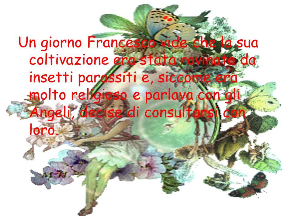 Un giorno Francesco vide che la sua coltivazione era stata rovinata da insetti parassiti e, siccome era molto religioso e parlava con gli Angeli, decise di consultarsi con loro.