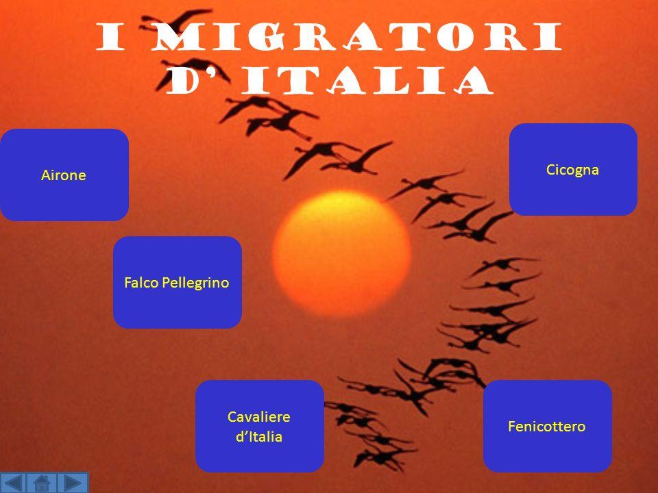 i migratori d' Italia Cicogna Airone Falco Pellegrino
