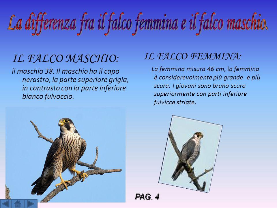 La differenza fra il falco femmina e il falco maschio.