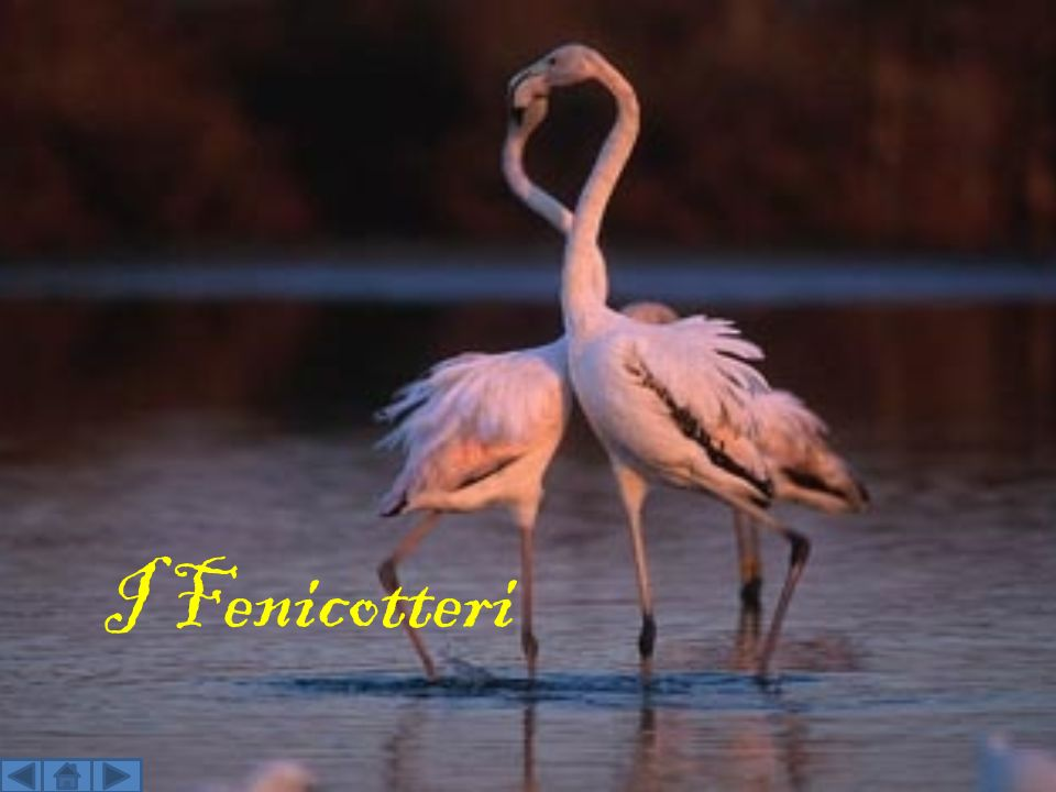 I Fenicotteri