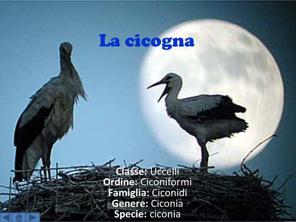 La cicogna Classe: Uccelli Ordine: Ciconiformi Famiglia: Ciconidi Genere: Ciconia Specie: ciconia.