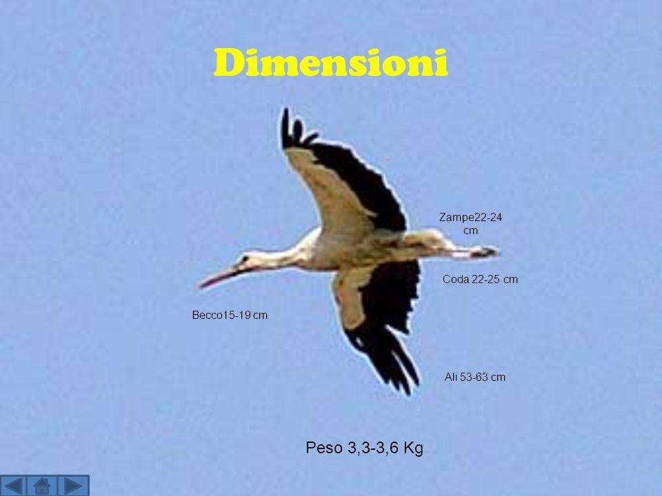 Dimensioni Peso 3,3-3,6 Kg Zampe22-24 cm Coda 22-25 cm Becco15-19 cm