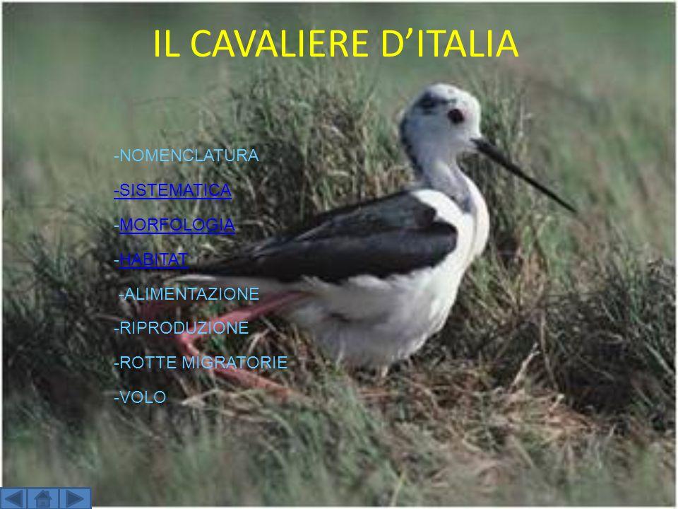IL CAVALIERE D'ITALIA -NOMENCLATURA -SISTEMATICA -MORFOLOGIA -HABITAT