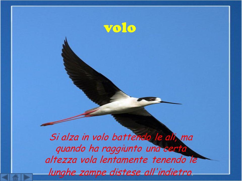 volo Si alza in volo battendo le ali, ma quando ha raggiunto una certa altezza vola lentamente tenendo le lunghe zampe distese all indietro.