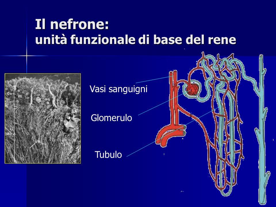 Il nefrone: unità funzionale di base del rene