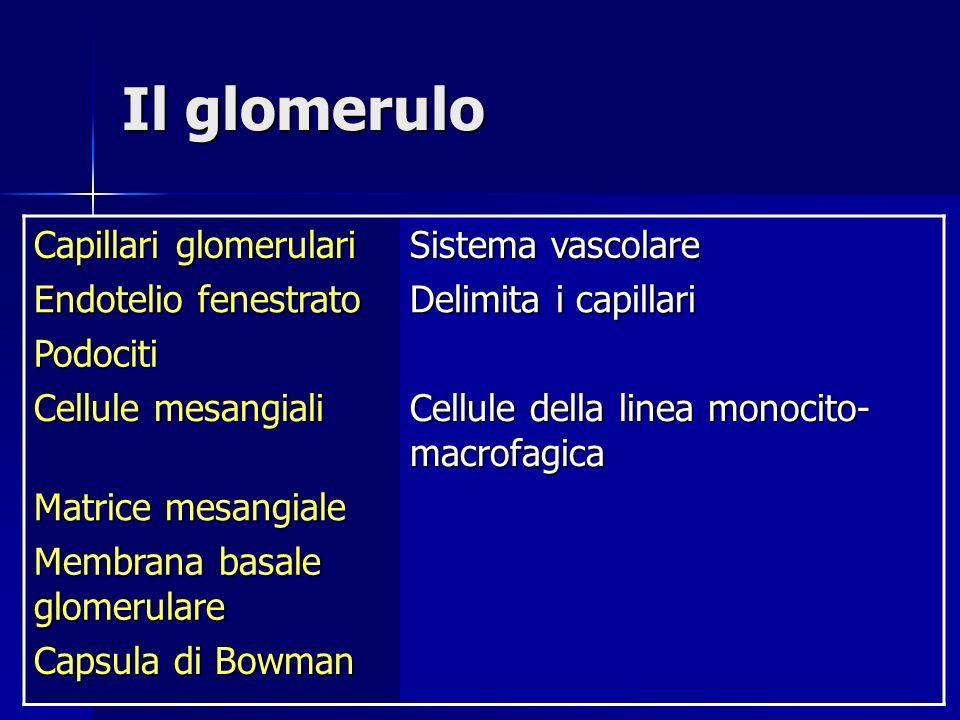 Il glomerulo Capillari glomerulari Sistema vascolare