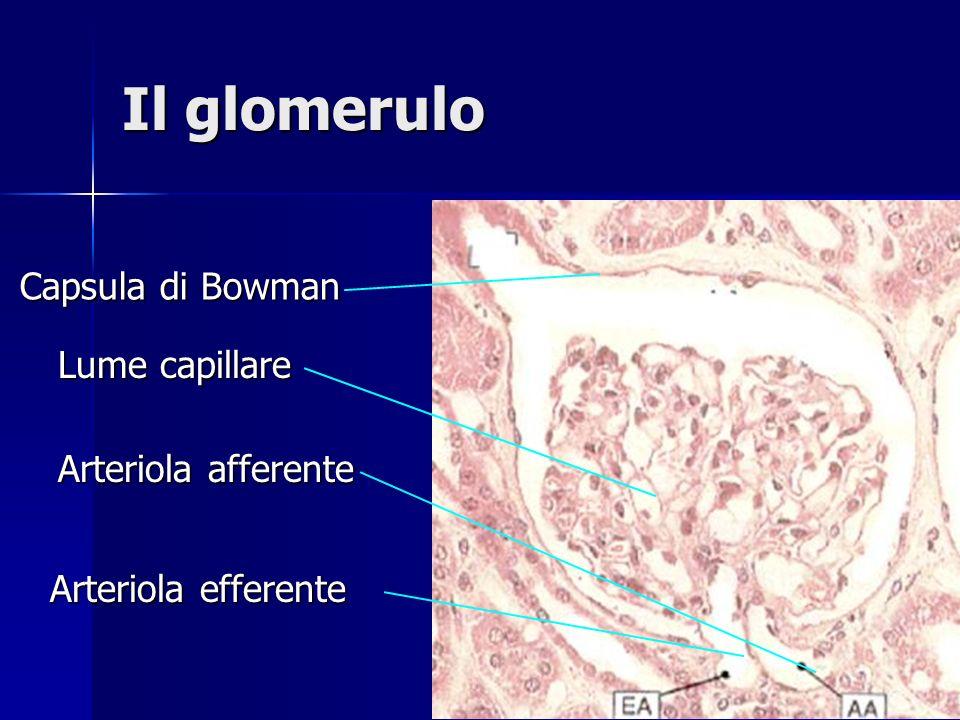 Il glomerulo Capsula di Bowman Lume capillare Arteriola afferente