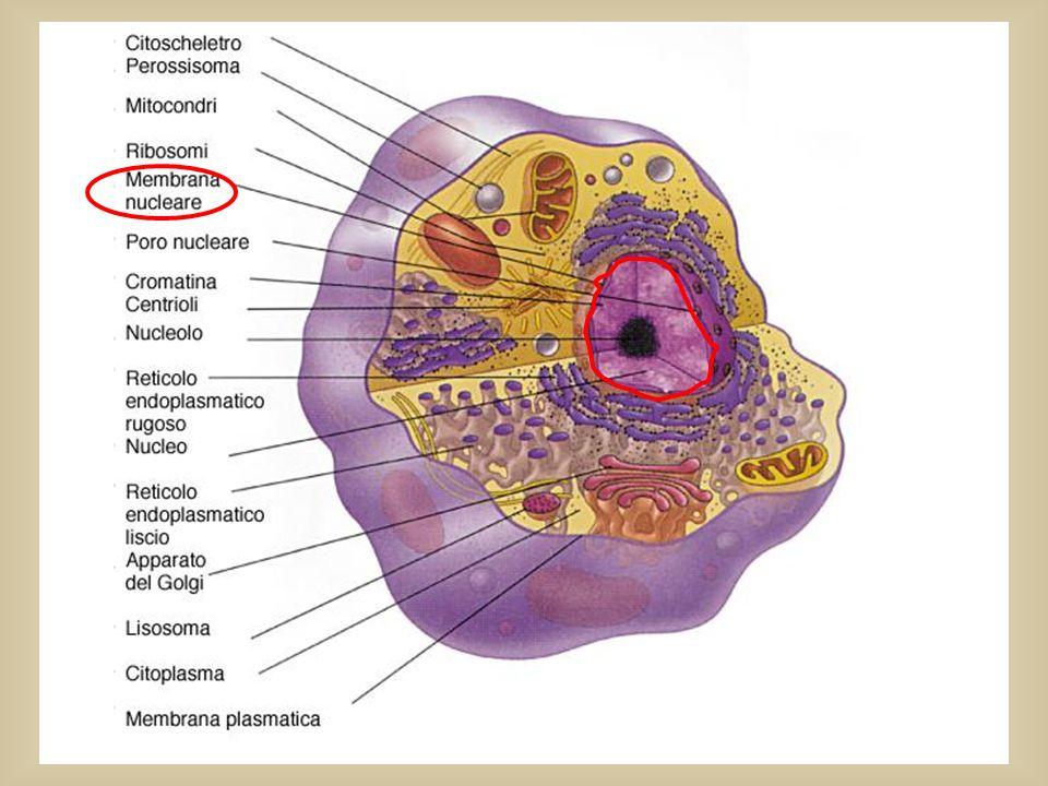 Tutte le informazioni per COSTRUIRE un individuo (cioè tutto il materiale genetico) sono contenute nel DNA