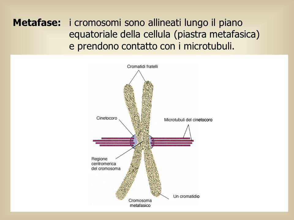 Metafase: i cromosomi sono allineati lungo il piano equatoriale della cellula (piastra metafasica) e prendono contatto con i microtubuli.