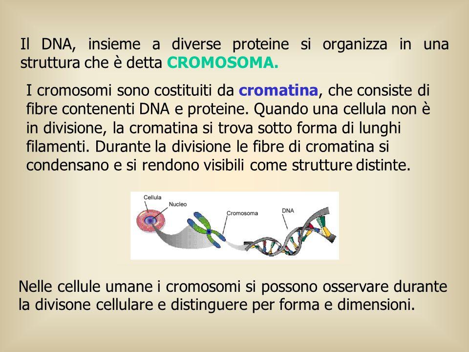 Il DNA, insieme a diverse proteine si organizza in una struttura che è detta CROMOSOMA.