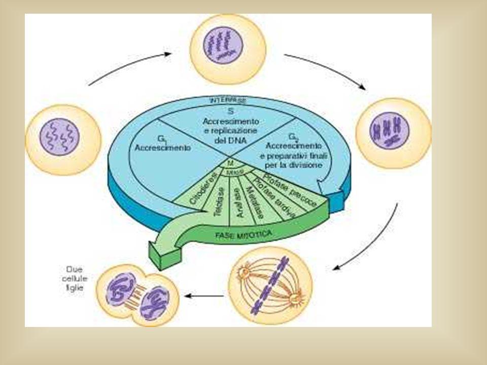 Pertanto: l'assetto cromosomico di ogni gamete è la conseguenza diretta dell'assortimento dei cromosomi delle diverse paia durante il processo meiotico.