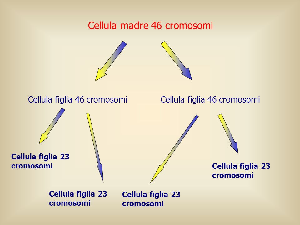 Cellula madre 46 cromosomi