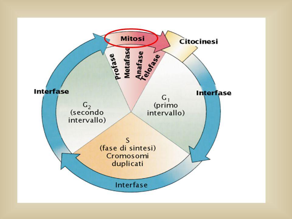 Quando le cellule raggiungono una certa dimensione devono arrestare l'accrescimento o dividersi.