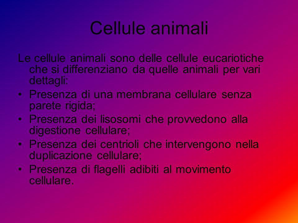 Cellule animali Le cellule animali sono delle cellule eucariotiche che si differenziano da quelle animali per vari dettagli: