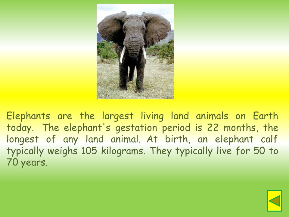 Elephants are the largest living land animals on Earth today