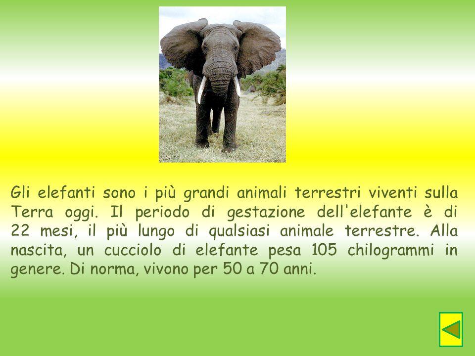 Gli elefanti sono i più grandi animali terrestri viventi sulla Terra oggi.