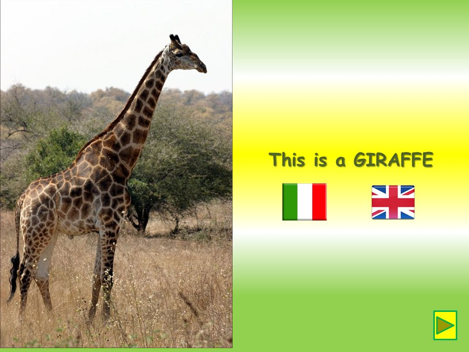 This is a GIRAFFE