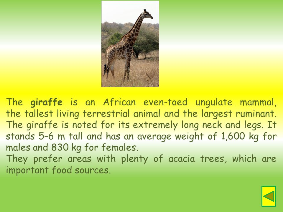 The giraffe is an African even-toed ungulate mammal, the tallest living terrestrial animal and the largest ruminant. The giraffe is noted for its extremely long neck and legs. It stands 5–6 m tall and has an average weight of 1,600 kg for males and 830 kg for females.