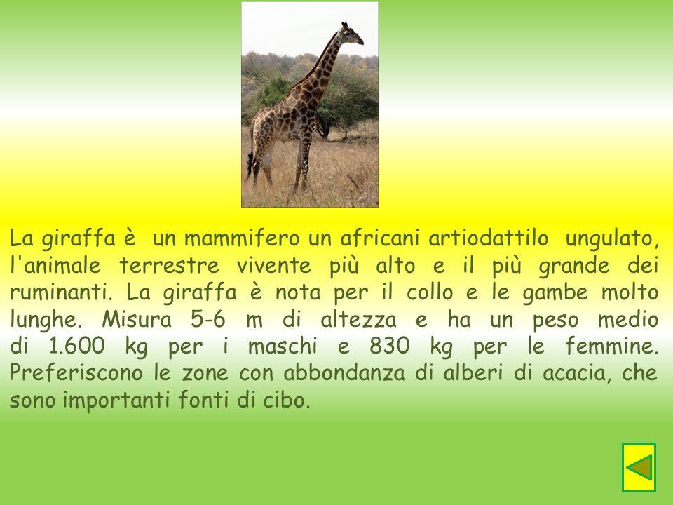 La giraffa è un mammifero un africani artiodattilo ungulato, l animale terrestre vivente più alto e il più grande dei ruminanti. La giraffa è nota per il collo e le gambe molto lunghe. Misura 5-6 m di altezza e ha un peso medio di 1.600 kg per i maschi e 830 kg per le femmine.