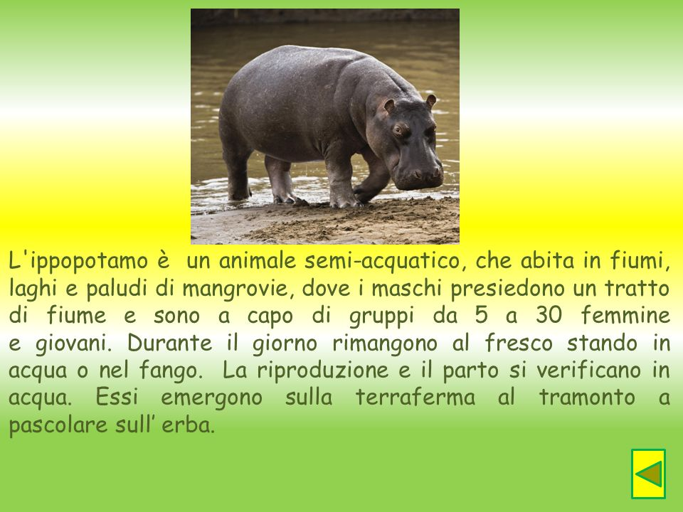 L ippopotamo è un animale semi-acquatico, che abita in fiumi, laghi e paludi di mangrovie, dove i maschi presiedono un tratto di fiume e sono a capo di gruppi da 5 a 30 femmine e giovani. Durante il giorno rimangono al fresco stando in acqua o nel fango.