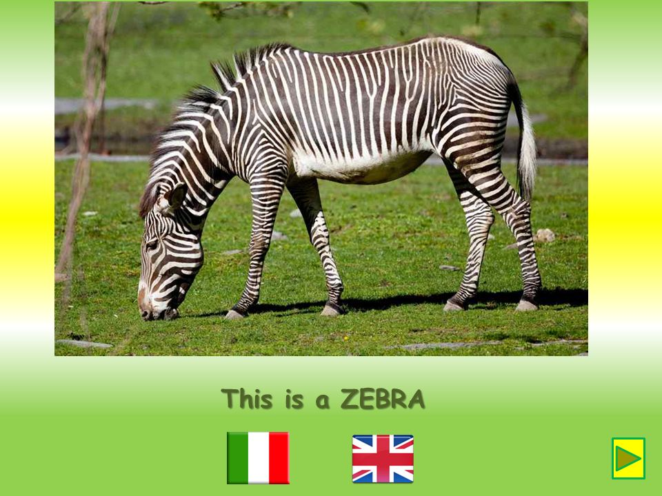 This is a ZEBRA