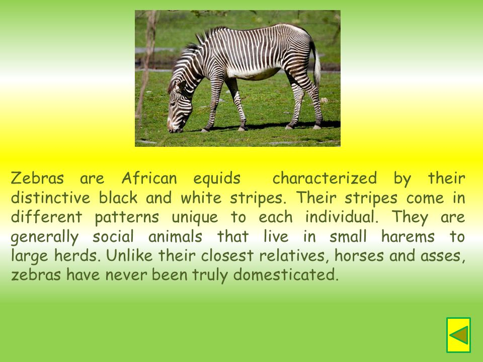 Zebras are African equids characterized by their distinctive black and white stripes.