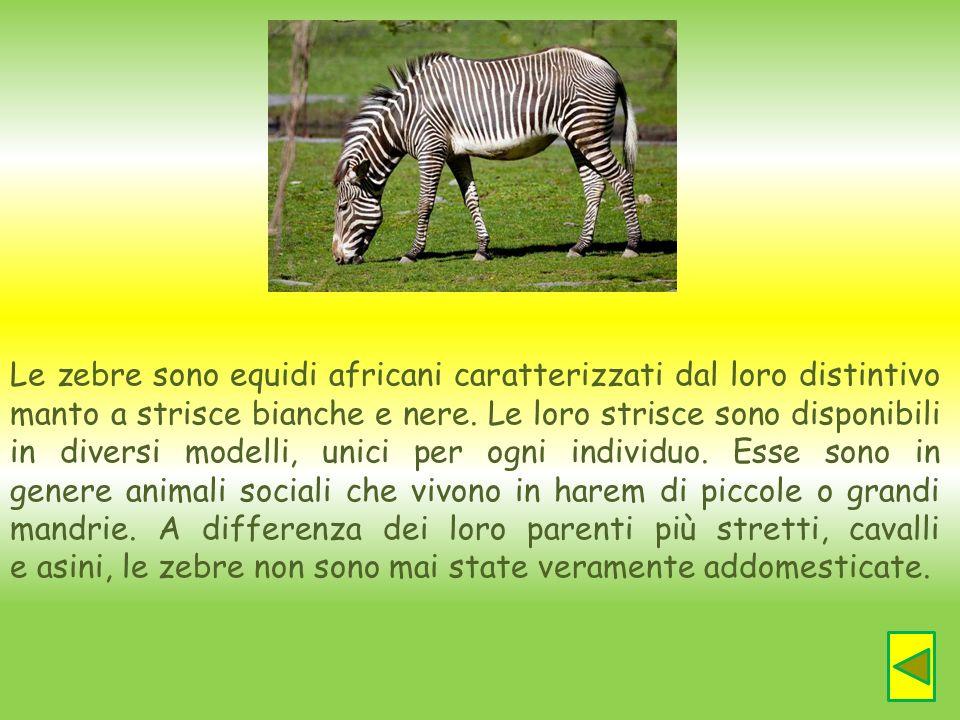 Le zebre sono equidi africani caratterizzati dal loro distintivo manto a strisce bianche e nere. Le loro strisce sono disponibili in diversi modelli, unici per ogni individuo. Esse sono in genere animali sociali che vivono in harem di piccole o grandi mandrie. A differenza dei loro parenti più stretti, cavalli e asini, le zebre non sono mai state veramente addomesticate.