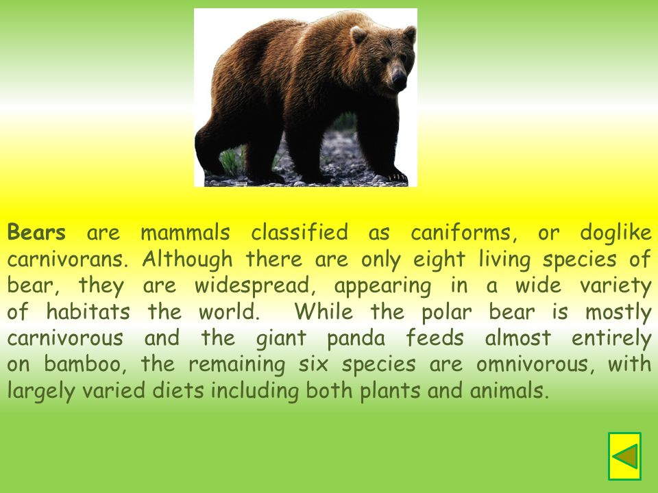 Bears are mammals classified as caniforms, or doglike carnivorans