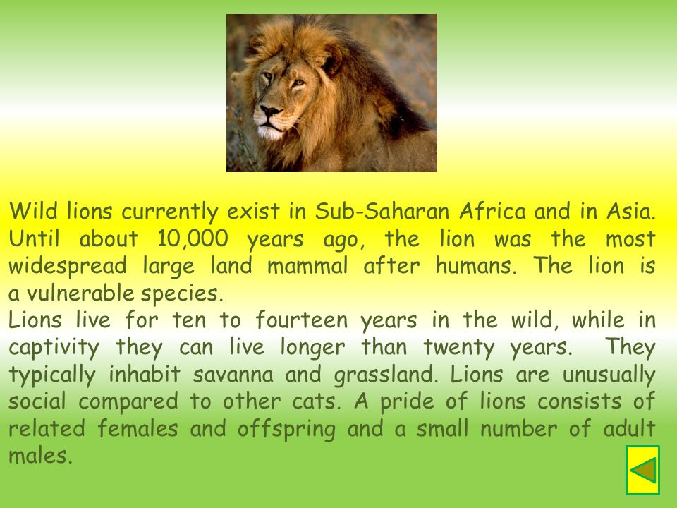 Wild lions currently exist in Sub-Saharan Africa and in Asia